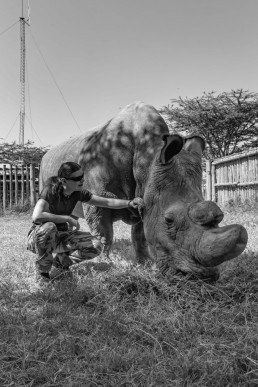 Sudan, the last male northern white rhino and Piritta in 2016 in Ol Pejeta Conservancy, Kenya.