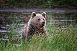 Hittavainen, a mother brown bear in Kuusamo, Finland.