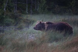 Bear called Mörkö in the evening fog in Kuusamo, Finland.