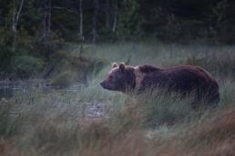 Bear called Mörkö in the evening fog in Kuusamo, Finland.
