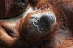A happy orangutan at the Semenggoh Orangutan Rehabilitation Center, Malaysian Borneo.