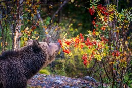 A brown bear (Ursus Arctos) and rowan. September 2020, Kuusamo, Finland.