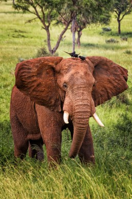 Elephant and passengers. Murchison Falls National Park, Uganda.