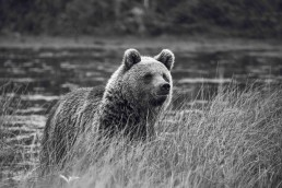 A curious Finnish brown bear. Kuusamo, Finland.