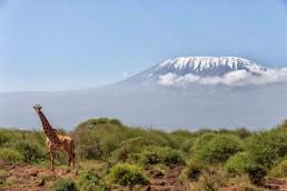 Giraffe with Kilimanjaro, Kenya.