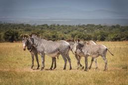 Gravy zebras in Ol Pejeta Conservancy, Kenya.