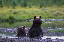 Bear friends having a bath in August 2020. Kuntilampi, Kuusamo, Finland.