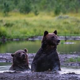 Bear friends having a bath in August 2020. Kuntilampi, Kuusamo, Finland.