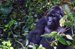 Mountain gorilla. Bwindi Impenetrable Forest National Park, Uganda.