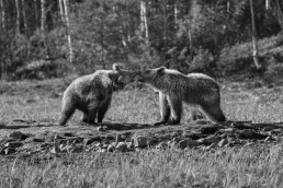 One-year-old bear cubs playing together in Kuusamo, Finland.