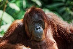 Portrait of an orangutan. Malaysian Borneo.