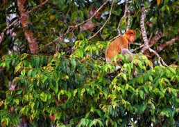 Proboscis monkey in the Kinabatangan River, Malaysian Borneo.