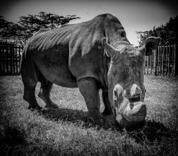 Sudan, the last male northern white rhino (now sadly passed away already), in Ol Pejeta Conservancy, Kenya.