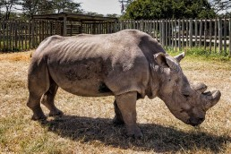 Sudan, the last male northern white rhino in the world. Ol Pejeta Conservancy, Kenya.