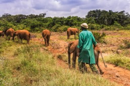 A keeper is escorting a baby elephant in the David Sheldrick Wildlife Trust's Nairobi Orphanage in Kenya.