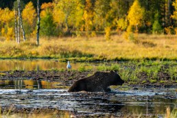 Water droplets in the golden sun with a brown bear at the swamp. Kuusamo, Finland.