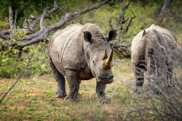 Curious white rhinos in Klaserie Private Game Reserve in South Africa.
