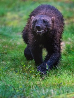 An endangered wolverine (gulo gulo) on a walk. Lieksa, Finland.