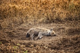 A little, sleeping hyena in Serengeti National Park, Tanzania.