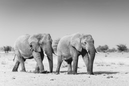 The bachelors of Etosha National Park, Namibia.