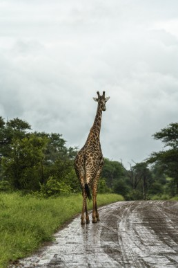 A giraffe is walking on the dirt road after the heavy rains in Kruger National Park, South Africa.