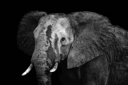 The Matriarch – A portrait of an African Savanna Elephant (Loxodonta Africana) in Kruger National Park, South Africa.