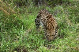 A leopard (Panthera pardus) throws an intense look to my direction in Kruger National Park, South Africa.