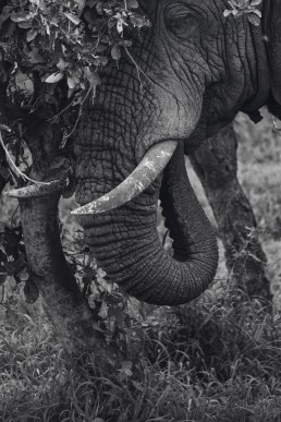 An African elephant bull eating in peace in the middle of the bush. I spent a long moment with him in tranquility. Kruger National Park, South Africa.
