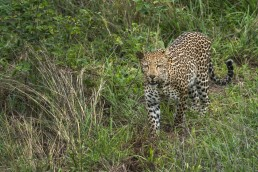 A leopard (Panthera pardus) emerges from the thick bush and walks straight towards my car in Kruger National Park, South Africa.