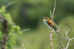 A European Bee-eater sits in the rain in Kruger National Park, South Africa.