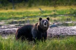 A brown bear (Ursus Arctos) male growling. Kuusamo, Finland.