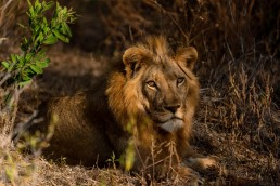 A young male lion (Panthera Leo) looks into the camera in the Game Management Area of Lower Zambezi National Park in Zambia.