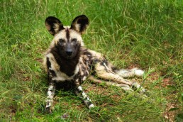 An endangered African Wild Dog (Lycaon pictus) looking to the camera in Kruger National Park, South Africa. Its pack surrounded her nearby.