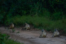 A bush road occupied by a troop of baboons who moved only reluctantly. Gorongosa National Park, Mozambique.
