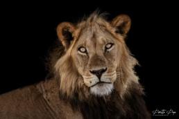 One of the famous black-maned lions of the Kalahari. Central Kalahari Game Reserve, Botswana.