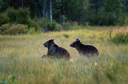 Brown bear cubs running at swamp. Kuusamo, Finland.