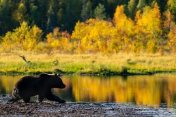 A young brown bear (Ursus Arctos) walking in the swamp amidst the autumn light and colors. Kuusamo, Finland.
