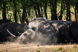 A crash of white rhinos resting ifrom the shadows in the midday heat of Hlane National Park, eSwatini/Swaziland.
