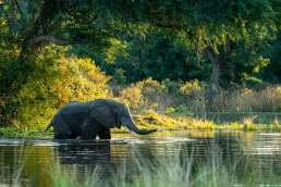 An African elephant (Loxodonta Africana) bull crossing the river channel in the evening light in Lower Zambezi National Park, Zambia.