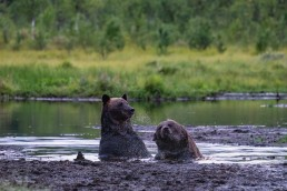 Brown bear males swimming in a swamp pond in Kuusamo, Finland. Young males tolerate each others after the mating time is over.