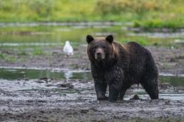 A brown bear (Ursus Arctos) male in its prime. Kuusamo, Finland.