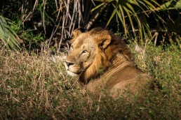 A young male lion (Panthera Leo) takes a sideways look. Gorongosa National Park, Mozambique.
