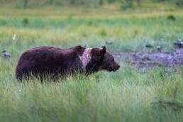 An old, brown bear (Ursus Arctos) male walking in the swamp. This individual is called