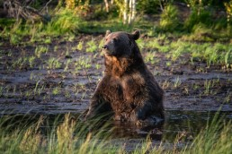 A brown bear (Ursus Arctos) in its prime age, between 10-13 years, sitting in a swamp in Kuusamo, Finland.