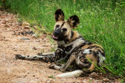 An African wild dog or a painted dog was lying on the side of the road with her pack in close proximity. She had a tracking collar for research purposes. Kruger National Park, South Africa.