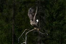 An old, white-tailed sea eagle (Haliaeetus albicilla) taking flight from its branch. The yellow beak and white tail tells that it is an old individual. Kuusamo, Finland.